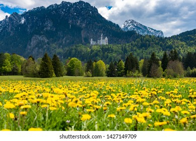 The famous Neuschwanstein castle with yellow flowers and snow mountains landscape, Germany