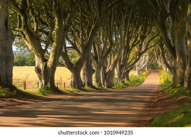 The famous path of Dark hedges located in North Ireland photographed during the late afternoon