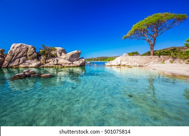 Famous pine tree on Palombaggia beach with azure clear water and sandy beach on the south part of Corsica, France