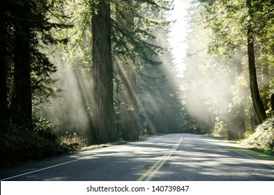 Famous Redwood trees on the Pacific Coast lit by the sun