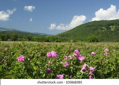 The famous rose fields in the Thracian Valley near Kazanlak Bulgaria