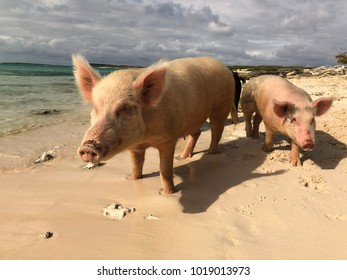 The famous swimming pigs of the Bahamas walking on the soft sands of the Pig Island in the Bahamas