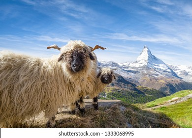 The famous Valais blacknose sheep in front of the Matterhorn mountain, Canton of Valais, Switzerland