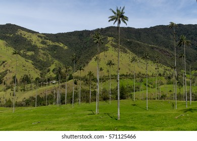 Famous wax palm trees in Valle de Cocora in Colombia
