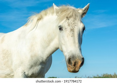 Famous white horse in a field, Camargue, France