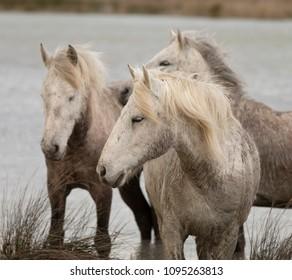 Famous White Horses of Camargue France