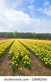 Famouse dutch yellow tulip field with rows in sunny day