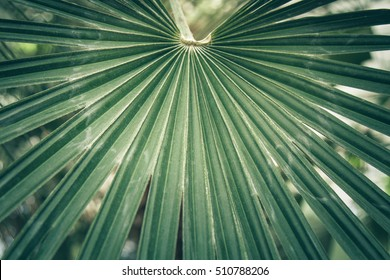 Fan leaf of a sabal palm also known as cabbage palmetto. Close-up, selective focus