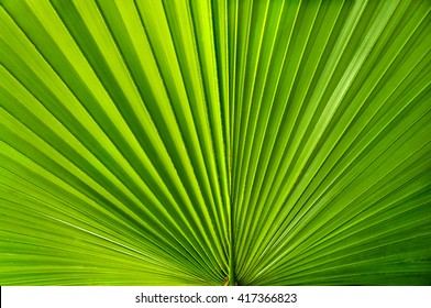 Fan like green palmate palm leaf.
