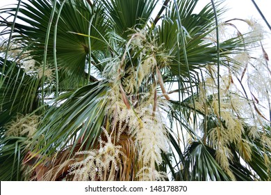 a fan palm with bunchy blooming white clusters