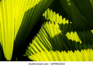 the fan palm foliage