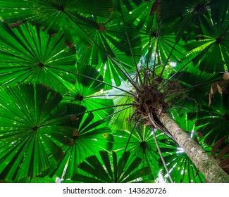 Fan Palm Tree Canopy.  Green foliage in the Daintree Rainforest, Queensland, Australia