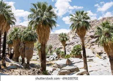Fan Palms in an oasis in the Indian Canyons area of Palm Springs in the Coachella Valley of California.