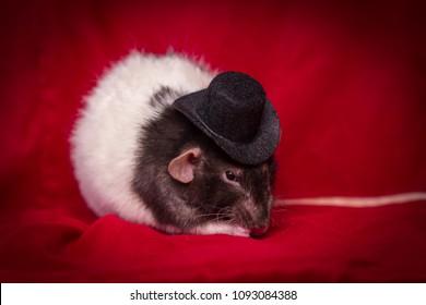 Fancy agouti-colored hooded pet rat wearing top hat