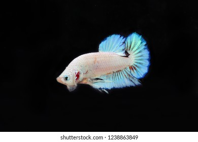 Fancy Betta with black background. Siamese Fighting Fish white perl and light blue colors. Capture moving of colorful fish. Betta splendens.