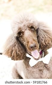 fancy bow tie poodle
