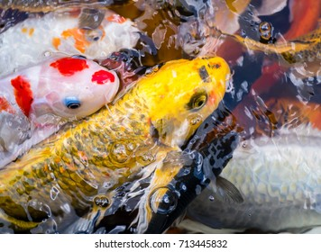Fancy carp. Close up Beautiful golden carps fish swimming in the pond. Many of Japan fish or colorful Koi fish waiting for food, eat swarm. Lot of fish on water surface. - Feeding animals concept.