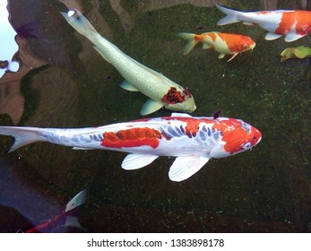 Fancy carp fishes, mirror carp, Romaji, Koi, Nishikigoi are subspecies Cyprinus carpio haematopterus is a species of carp that has been developed from ordinary carp rise to beautiful fish.Thailand.