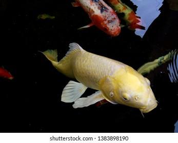 Fancy carp fishes, mirror carp, Romaji, Koi, Nishikigoi are subspecies Cyprinus carpio haematopterus is a species of carp that has been developed from ordinary carp rise to beautiful fish.Thailand.