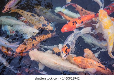 Fancy carp fishes, mirror carp, Romaji, Koi, Nishikigoi are subspecies Cyprinus carpio haematopterus is a species of carp that has been developed from ordinary carp rise to beautiful fish