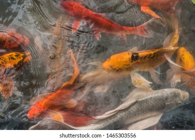 Fancy carp fishes , mirror carp, Romaji, Koi, Nishikigoi are subspecies Cyprinus carpio haematopterus is a species of carp that has been developed from ordinary carp rise to beautiful fish.blurry.