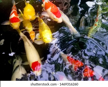 Fancy carp fishes are swimming in the pond, mirror carp, Romaji, Koi, Nishikigoi are subspecies Cyprinus carpio haematopterus is a species of carp that has been developed from ordinary carp.