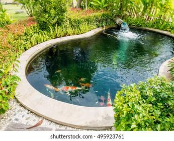 fancy carp koi fish in pond in the garden