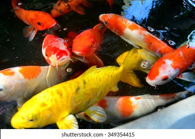 Fancy carp or Koi fish swimming at pond in the garden