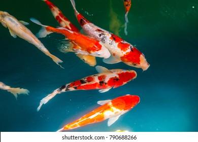 Fancy Carp or Koi Swim swimming in the pond