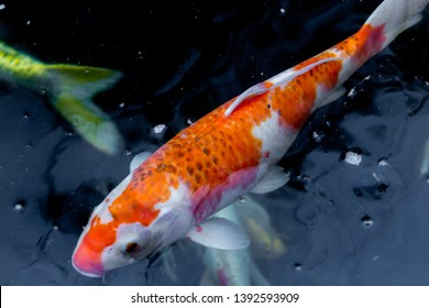 Fancy carp swimming in a pond. Fancy Carps Fish or Koi Swim in Pond, Movement of Swimming and Space.