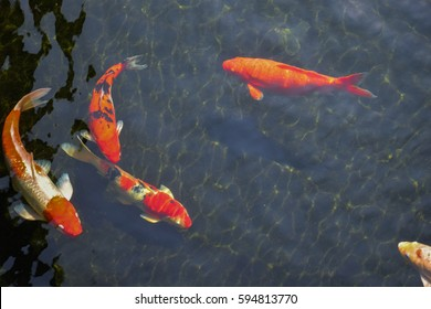 Fancy Carps Fish or Koi Swim in Pond, Movement of Swimming and Space