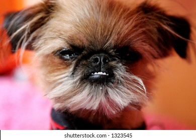 Fancy celebrity puppy dog.
