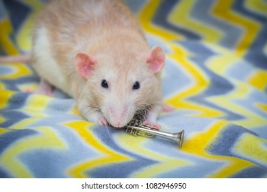 Fancy fawn colored dumbo eared pet rat playing trumpet
