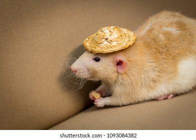 Fancy fawn colored dumbo eared pet rat wearing straw hat