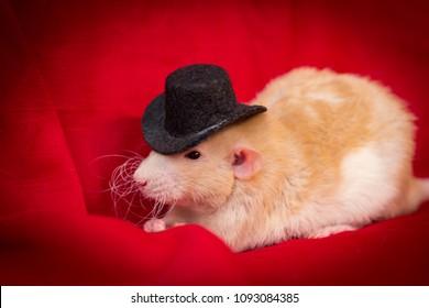 Fancy fawn colored dumbo eared pet rat wearing top hat