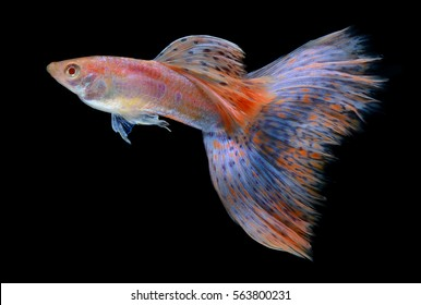 fancy guppy fish in blue and pink colours isolated on black background