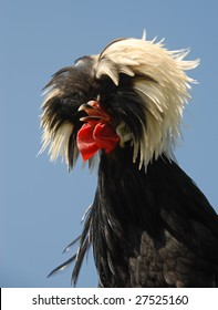 Fancy hairdo of a Polish crested chicken, Gallus gallus. Rooster.