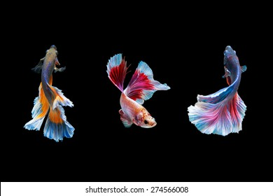 """Fancy Halfmoon Betta"" capture the moving moment beautiful of siam betta fish in thailand on black background"