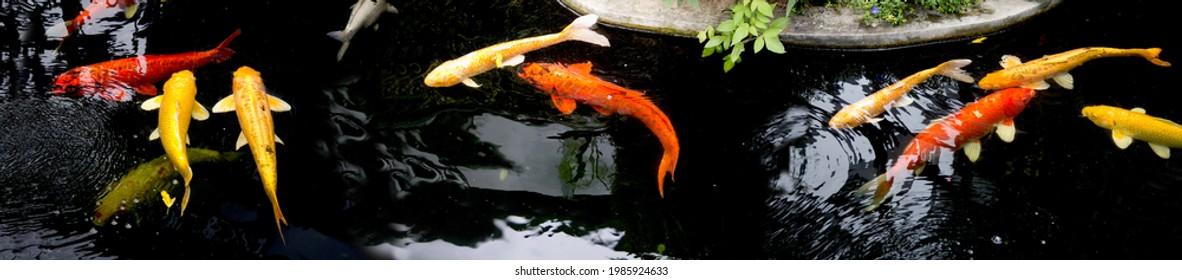 Fancy koi carp fishes such as golden koi fish Doitsu Yamabuki Ogon,  Hikarimujimono, Nanashigoi and red- black carp Doitsu Aka Bekko koi are swimming in the pond. Panorama picture. Lampang Thailand.