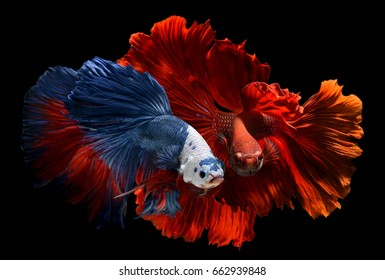 Fancy monster white head and super red betta or saimese fighting fish like the dragon swiming .