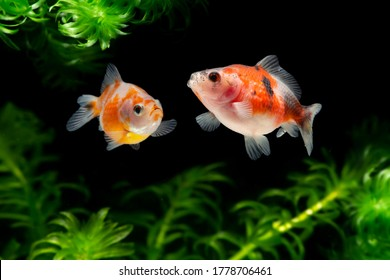 Fancy Pearlscale Goldfish with water plants
