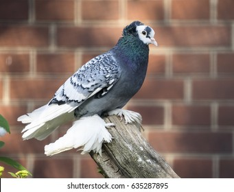 Fancy pigeon with feathers on feet perched on a log looking at the camera