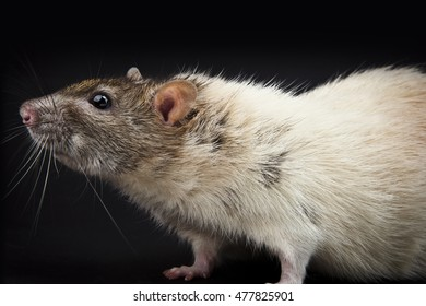 Fancy rat studio isolated with black background