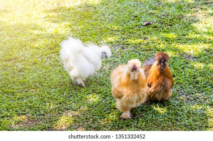 Fancy Silkie chicken in farm, Silkie. Chicks, chickens silk chinese, outdoor on a green lawn, silky