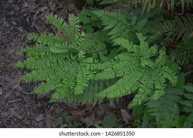 Fan-like Fern Spreading in Forest