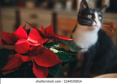 fanny cat snifing red poinsettia on the table