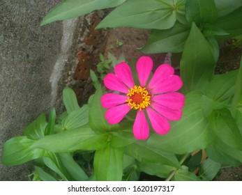 fanta red flowers in the rainy season