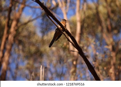 A Fan-tailed Cuckoo singing in a tree.