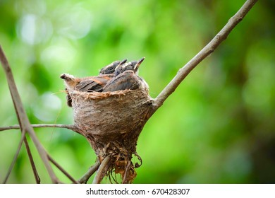 The fantails family in the little nest has two young birds. Waiting for mom to feed
