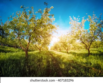 Fantastic apple orchard is illuminated by sunlight and blue sky. Picturesque and gorgeous scene. Location place Ukraine, Europe. Beauty world. Instagram toning effect. Glowing soft filter.
